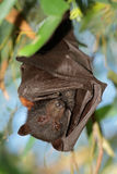 Black flying-fox Royalty Free Stock Photo
