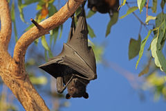Black flying-fox Stock Images