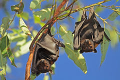 Black flying-foxes Royalty Free Stock Photos