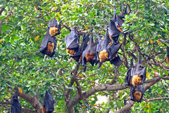 Black flying foxes hanging,on tree Thailand Royalty Free Stock Photography