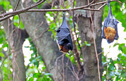 Black flying foxes hanging,on tree Thailand Royalty Free Stock Image