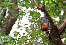 Black flying foxes hanging,on tree Thailand Stock Photos