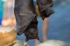 Black flying-foxes Stock Images