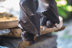 Black flying-foxes Royalty Free Stock Photography