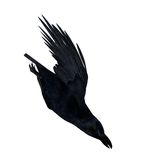 Black Flying Raven Silhouette 300 dpi Stock Photos