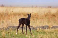 Black foal Royalty Free Stock Photo