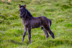 Black foal on pasture Stock Photos