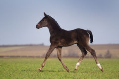 Black foal Stock Image