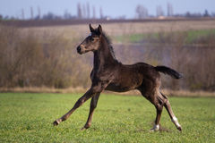 Black foal stock photo