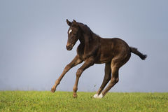 Black foal Royalty Free Stock Image