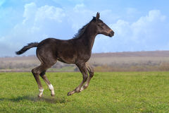 Black foal stock photography