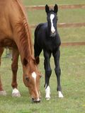 Black Foal Royalty Free Stock Images