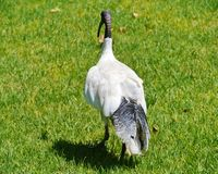 Black foliage on the back of a white ibis Royalty Free Stock Image