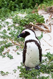 Black-footed african penguin in close up Stock Images