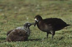 Black-Footed Albatross (Phoebastria nigripes) feeding nestling Stock Image