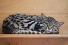 Black-footed cat Royalty Free Stock Photo