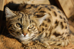 Black Footed Cat Felis nigripes. Rare small wild cat of Africa called the Black Footed Cat Felis nigripes - here a kitten. Also known as the Anthill Tiger Stock Photo