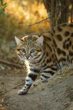 Black Footed Cat Felis nigripes. Rare small wild cat of South Africa called a Black Footed Cat or Anthill Tiger felis nigripes emerging from a hollow at dawn Royalty Free Stock Photos
