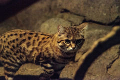 Black-footed cat Felis nigripes Royalty Free Stock Photos
