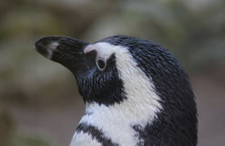 Black footed penguin head Stock Photo