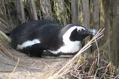 Black footed penguin resting Royalty Free Stock Image