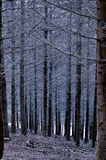 Black forest. Pine forest in Beaujolais at dawn (France Royalty Free Stock Photos