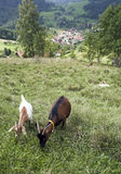 The black forest. Goat eating on the black forest, germany Royalty Free Stock Photo