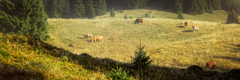Black forest background with grazing cows, idyllic country Royalty Free Stock Images