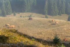 Black forest farming land for grazing cows Royalty Free Stock Photos