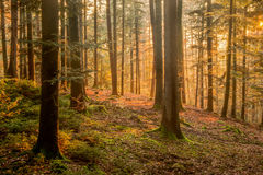 Black Forest Royalty Free Stock Photo