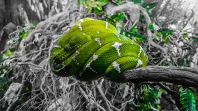 Cool Snake royalty free stock photography