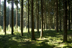 Black Forest trees Royalty Free Stock Photos