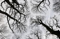 Black forest trees view upwards of canopy with tall trees. And twisted branches Royalty Free Stock Photography