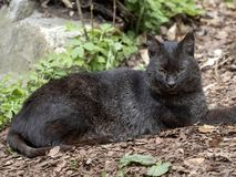 One black form of Jungle cat, Felis chaus, is rare. The black form of Jungle cat, Felis chaus, is rare royalty free stock photography