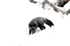Black Fox Royalty Free Stock Images