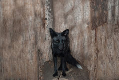 Black fox. Beautiful animal with silver wool stock images
