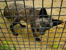 Yalta Zoo in Crimea Black fox with sad eyes royalty free stock photography