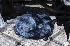 Black Fox sleeps in a cage royalty free stock photos