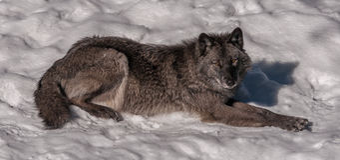 Black fox in the snow. 1 Stock Photo
