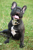 Black Franch Bulldog Royalty Free Stock Photos