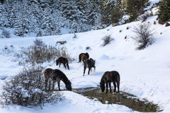 Black free horses at Ziria mountain. Fir trees covered with snow on a winter day, South Peloponnese, Greece Royalty Free Stock Image