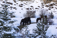 Black free horses at Ziria mountain. Fir trees covered with snow on a winter day, South Peloponnese, Greece. Black free horses at Ziria mountain. Fir trees royalty free stock image