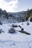 Black free horses at Ziria mountain. Fir trees covered with snow on a winter day, South Peloponnese, Greece Stock Image