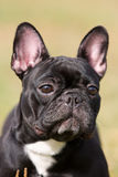 Black French Bulldog Stock Photos