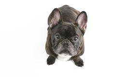 Black french bulldog. Up shot of a french bulldog dogs face on white background Stock Image