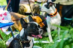Black french bulldog with big ears and white breast. Black bulldog and other dogs on summer background    . with big ears and white breast royalty free stock images