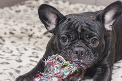 Black french bulldog chewing dog toy. Lies on the sofa. Black french bulldog chewing big dog toy. Lies on the sofa Royalty Free Stock Photos