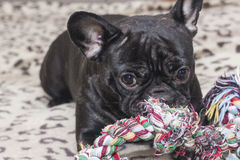 Black french bulldog chewing dog toy. Lies on the sofa Stock Photo
