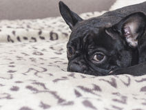 Black french bulldog dog sitting on the sofa look. In the apartment Royalty Free Stock Photo