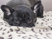 Black french bulldog dog sitting on the sofa look. In the apartment Stock Image